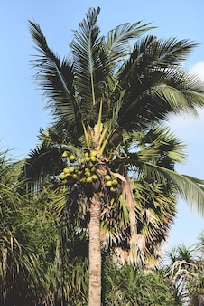 Coconut palm tree and coconut fruit in the tropical garden