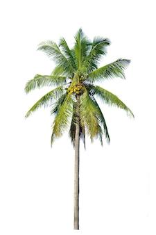 白い背景で隔離のココナッツ椰子の木。