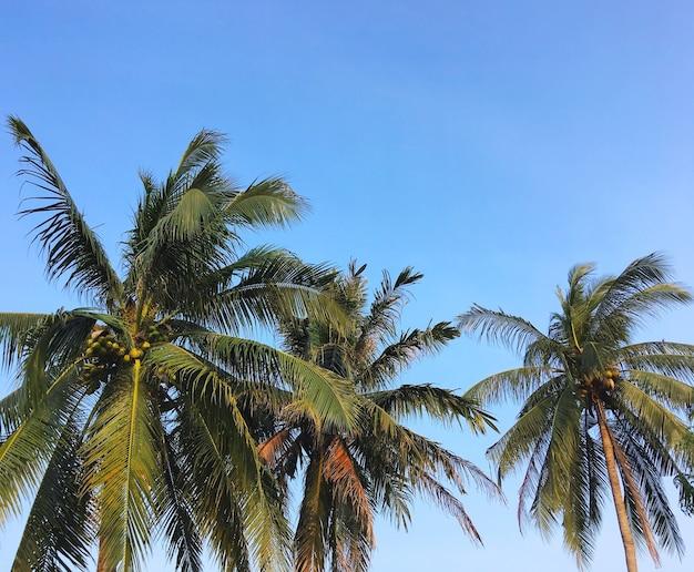 ココナッツ椰子の木は、コピースペースのある夏のビーチの澄んだ青い空に残します。