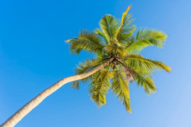 Взгляд перспективы кокосовой пальмы от пола высоко на пляже, острове занзибар, танзании, восточной африке. зеленые пальмовые листья и кокосы на фоне голубого неба.