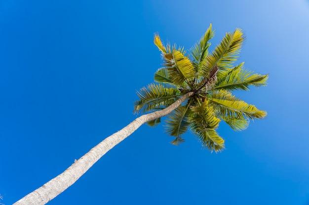 Взгляд перспективы кокосовой пальмы от пола высоко на пляже, занзибаре, танзании. зеленые пальмовые листья и кокосы на фоне голубого неба.