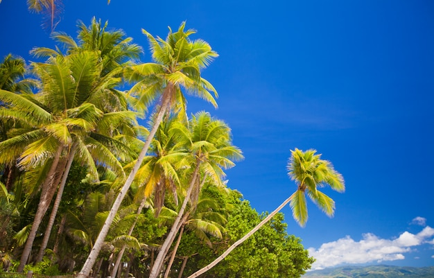 Coconut palm tree on the sandy beach in philippines