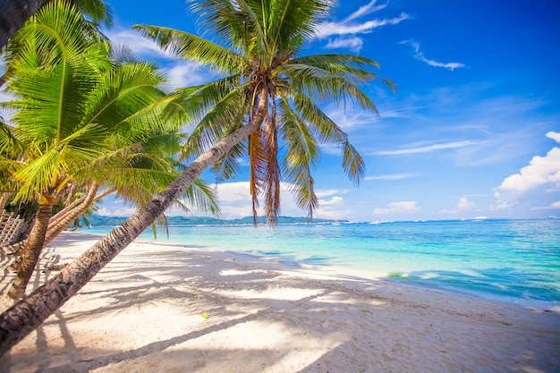 Coconut palm tree on the white sandy beach