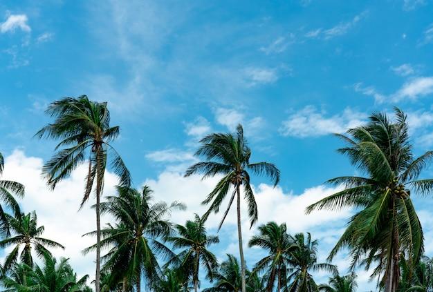 青い空と雲とcoco子の木。ヤシのプランテーション。ココナッツファーム。ココナッツpalm子の木の緑の葉をゆっくりと吹く風。夏の空と雲と熱帯の木。