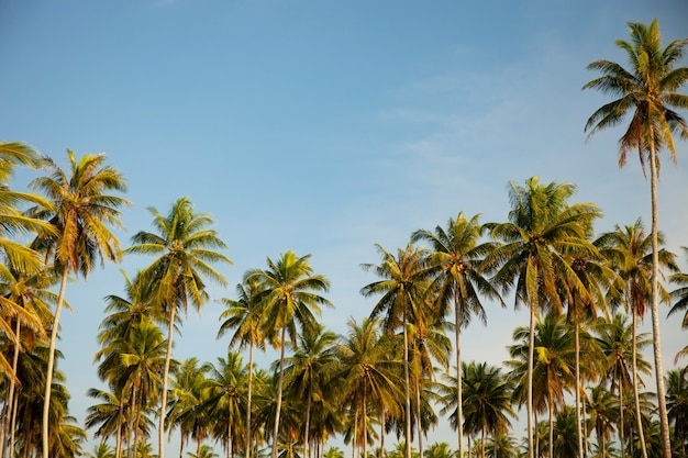 Coconut palm trees beautiful tropical background nature environment palm trees in summer sunny day.