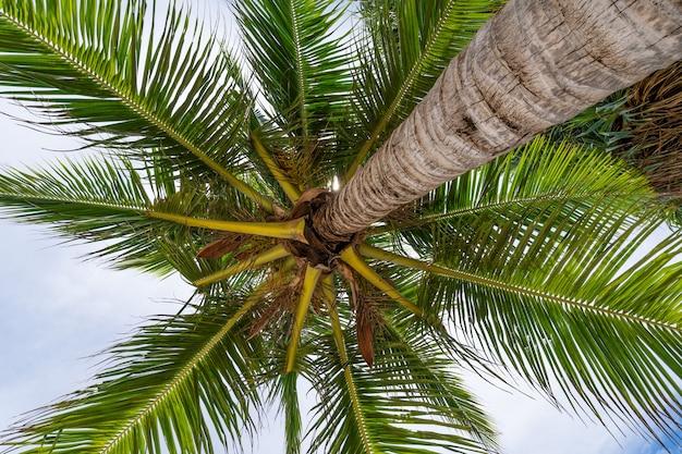 코코넛 야자수 아래쪽 보기 야자수에 신선한 잎의 아래쪽 보기를 닫습니다 맑은 하늘에 대하여 코코넛 야자수의 녹색 잎입니다.