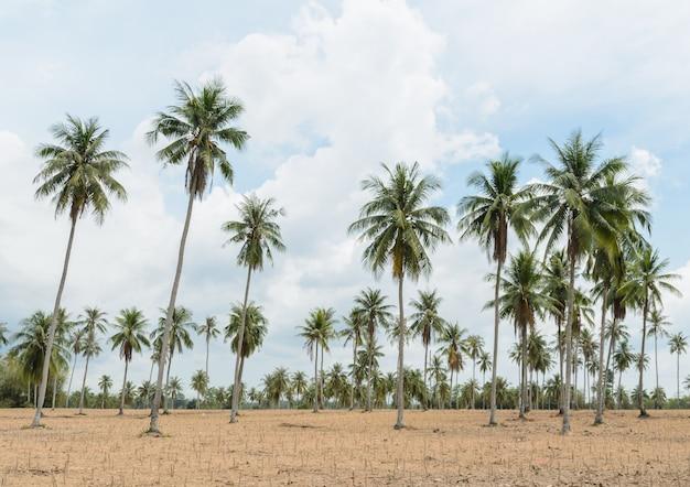 Coconut palm trees and cassava plantation