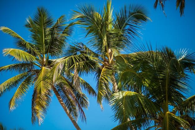青空の背景にココナッツ椰子の木