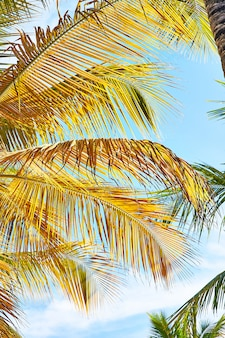Coconut palm trees and the sky. palm beach in tropical idyllic paradise island - caribbean - dominican republic punta cana