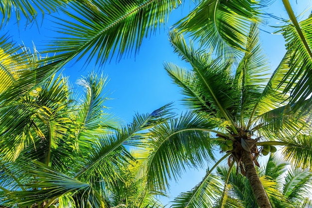 Coconut palm trees. tropical background.