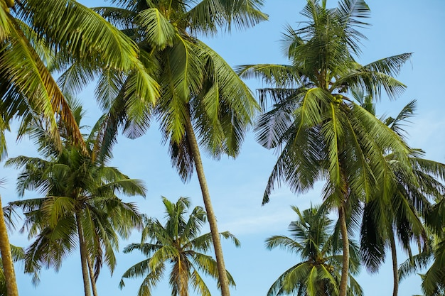코코넛 야자 나무