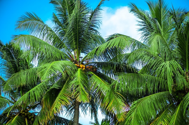 하늘에 대 한 코코넛 야자수