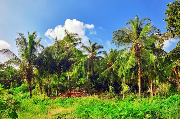 Кокосовые пальмы на тропическом острове на мальдивах, в средней части индийского океана.
