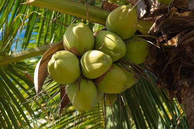 녹색 코코넛 과일과 코코넛 야자수