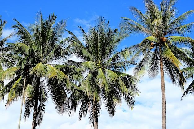Coconut plam tree on sky, vientiane, laos
