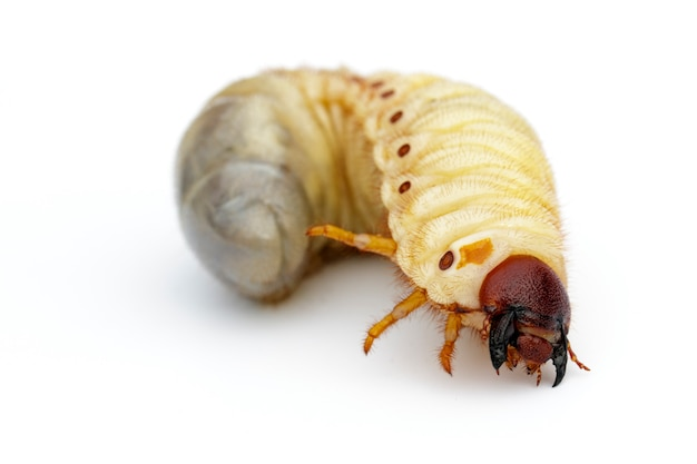 Coconut rhinoceros beetle (oryctes rhinoceros)