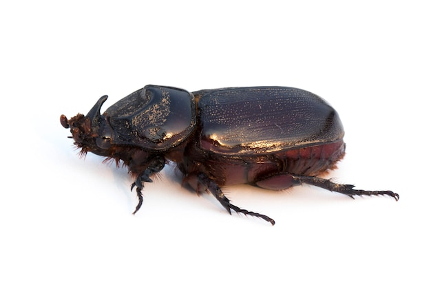 Coconut rhinoceros beetle