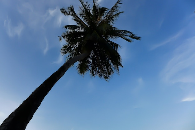 Coconut tree in blue sky background, up-risen angle photography