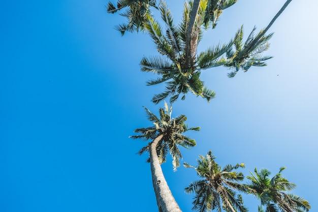 Coconut tree on blue sky.