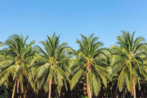 Coconut tree at damnoen saduak, the best of frest coconut  juice of thailand