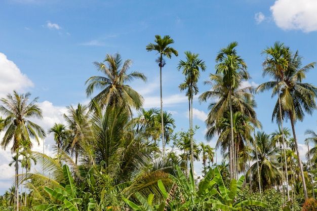 Coconut tree in the garden and blue sky background in summer season