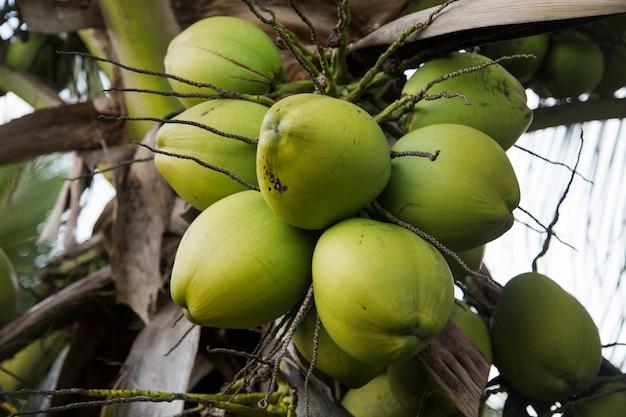 Кокосовая пальма в саду, cocos nucifera