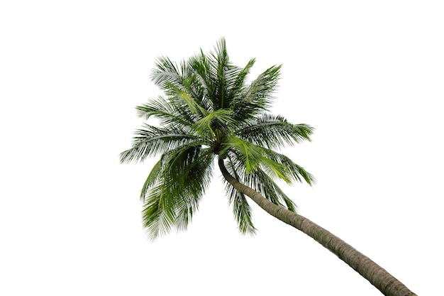 흰색 배경에 고립 된 코코넛 나무