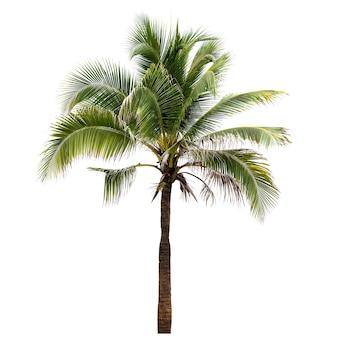 Кокосовая пальма, изолированные на белом фоне