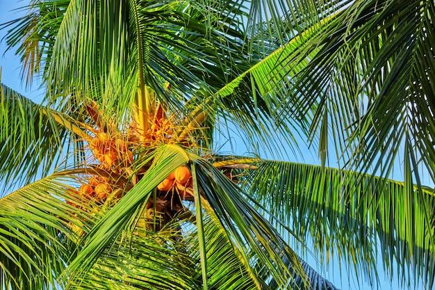 Кокосовая пальма с фруктами-кокосами, на тропическом острове на мальдивах, в средней части индийского океана.