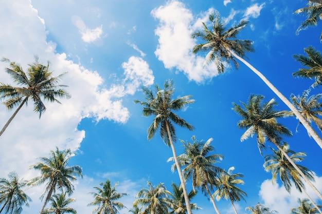 여름에 하늘이 높은 코코넛 나무.