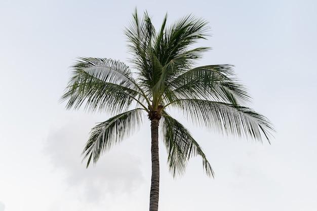 Пальма кокосов на фоне неба.