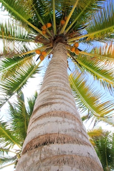 Coconuts palm tree perspective view from floor