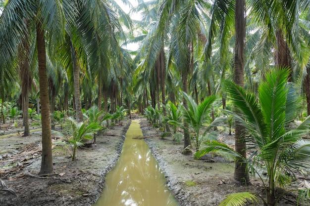Coconuts palm tree