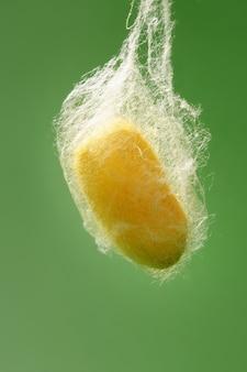 Кокон тутового шелкопряда висит на сетке шелкового червя