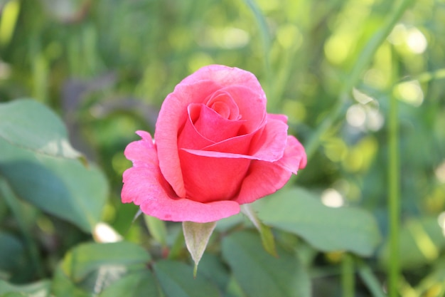 Cocoon rose