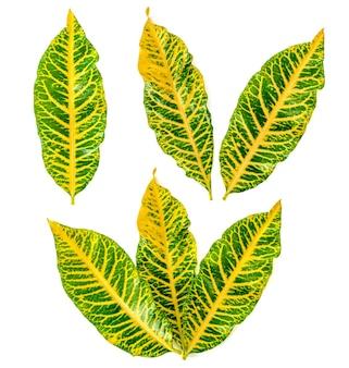 Codiaeum variegatium(l。)白い背景にブルームの葉。