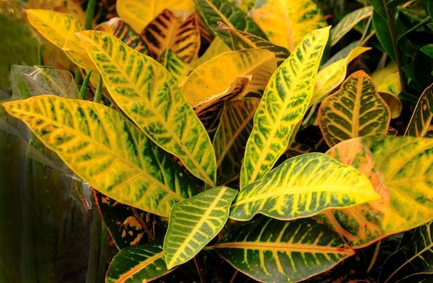 Codiaeum variegatumまたはcroton、variegated laurel、garden croton、orangejessamineを植木鉢に入れて店頭で販売しています。エキゾチックな植物性熱帯緑の植物