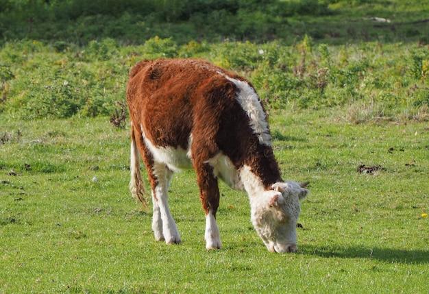 Луговой скот coe fen в кембридже