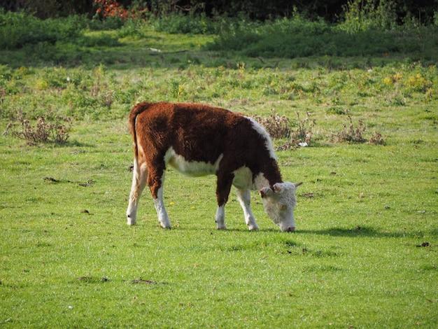 ケンブリッジのコーフェン牧草地の牛