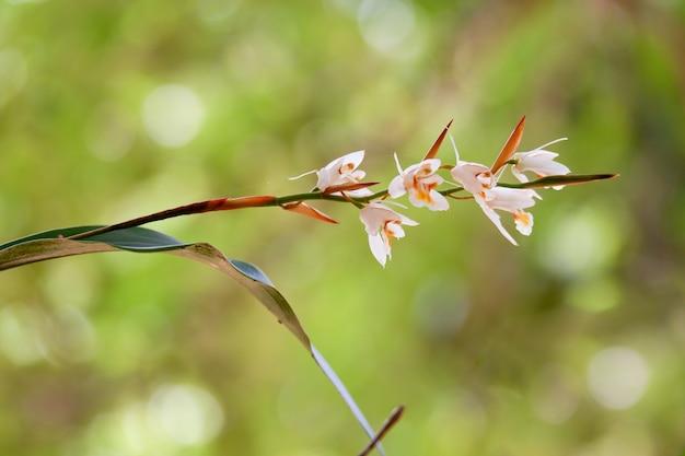 森の高山のcoelogyne schultesii蘭の花