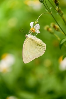 Coelogyne schultesii цветок орхидеи в лесу высокая гора Premium Фотографии