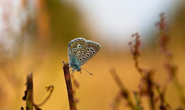 Бабочка ценонимфа в поле в естественной среде обитания