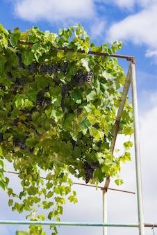 つるの熟した赤ワインのブドウのcofの束