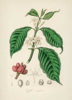 Coffea arabica illustration from medical botany