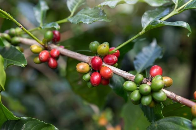 Coffee bean,arabicas coffee tree