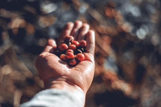커피 원두와 손 커피 정원에서 커피 콩입니다. 태국에서 아라비카