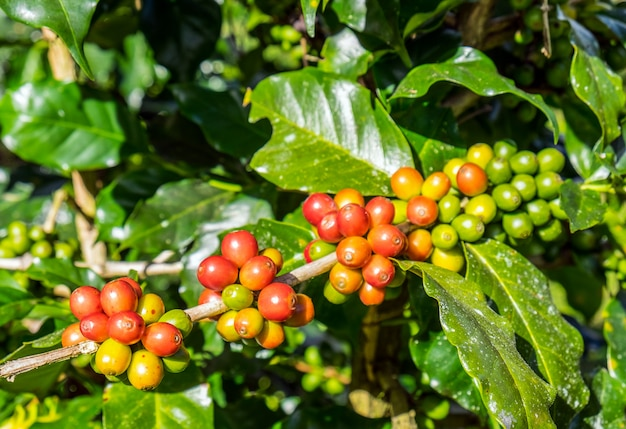 Coffee beans arabica ripe on a tree