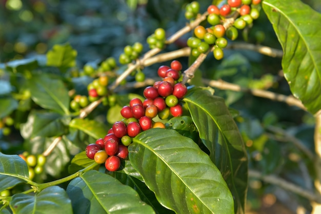 Coffee beans are ripe, harvested, branches of arabica coffee plants in changmai province, northern thailand.
