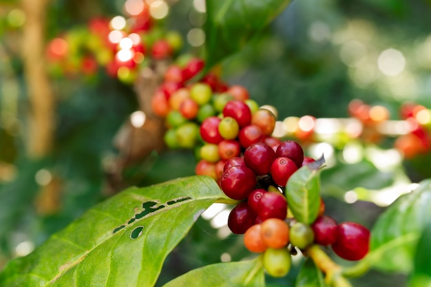 Coffee beans on the branch in coffee plantation farm.