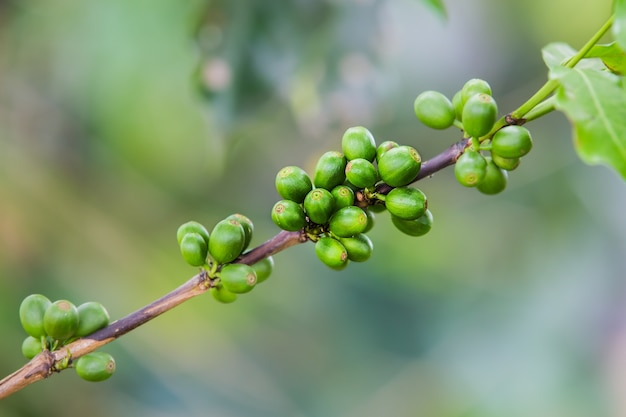 Coffee beans on the branch. robusta coffee.